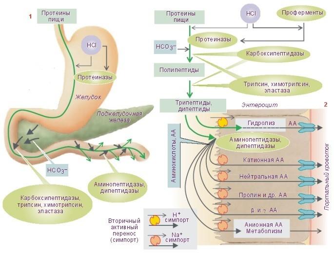 1836 4 - Food Enzymes — Пищеварительные Ферменты