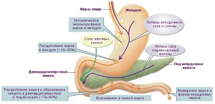 1836 5 - Food Enzymes — Пищеварительные Ферменты