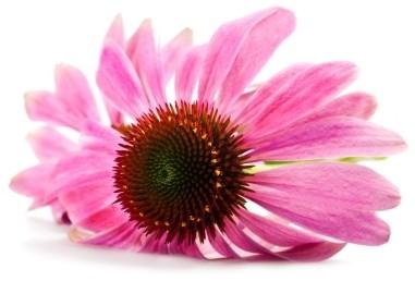 262 3 - Echinacea — Эхинацея