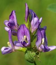 30 2 - Alfalfa — Люцерна