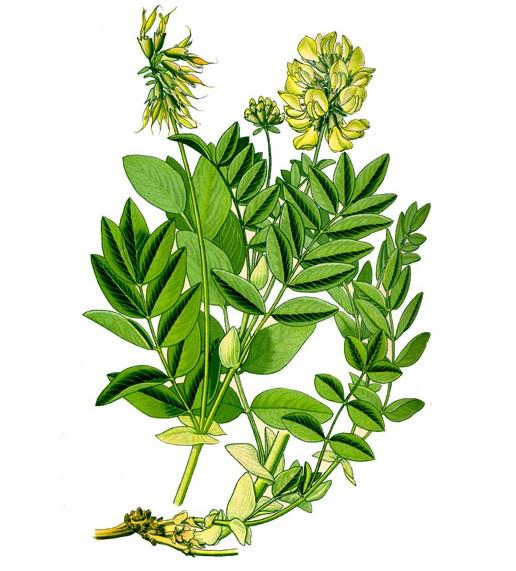 astragal pereponchatyj - Astragalus